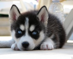 Lovely_Husky_puppy